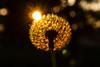 Dandelion (bakosgabor57) Tags: sun sunset flower warm d7200 nikon1755