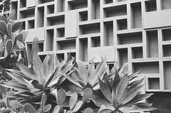 Tropical Winter (Caroline Kutchka Folger) Tags: ilford blackandwhite film 35mm canonae1 plantenunblomen botanicalgarden plants flora hamburg germany travel