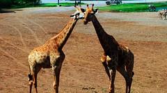 peck on the cheek! (Jinky Dabon) Tags: fujifilmfinepixhs35exr giraffe safari giraffes largeanimals ruminants longlegs longneck yellowishcoat brownpatches giraffacamelopardalis africananimal