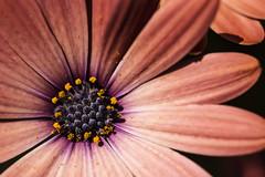 copper osteo (clairescosmos) Tags: nikon d5200 macro flower flowers flowering stamen plant petals pollen nature gardening garden osteospermum bloom copper orange yellow purple