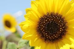 For you, Vincent van Gogh (rociomcoss) Tags: sunflower yellow flower sun beach petal soft bright seeds pollen