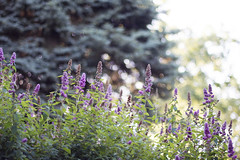 (Girl With Butterfly Wings) Tags: buddleja buddleia purple lilac green summer leaf leaves bokeh summertime nature
