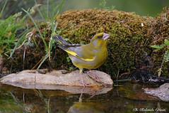 Verdone _003 (Rolando CRINITI) Tags: verdone uccelli uccello birds ornitologia montebaldo natura