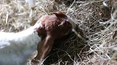 MVI_6620 (MatthwJ) Tags: baby goat kid malabar farm state park ohio video 2018