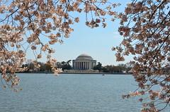 Blossom arch (afagen) Tags: washington dc washingtondc districtofcolumbia tidalbasin cherryblossom sakura blossom jeffersonmemorial