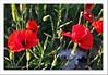 Amapolas (Lourdes S.C.) Tags: flores floressilvestres amapolas naturaleza provinciadejaén