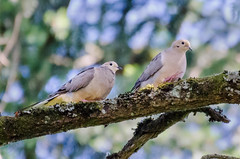 DSC_4780 mourning dove (eyegoo) Tags: dove mourningdove