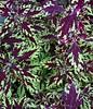 Coleus (LarryJay99 ) Tags: plant greenery foliage green color purple iphone7plus iphone7 plants variegated coleus leaves floral