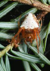 Arrowhead Orbweaver (Matt Claghorn) Tags: tokina100mmf28 nikond50 ohiospiders spider orbweaver arrowheadorbweaver verrucosaarenata macro