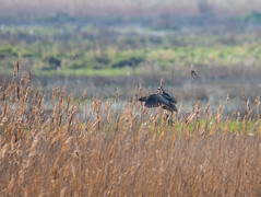 Bittern dropping in (nathian brook) Tags: bittern ukbirds ukwildlife sigma150600mmcontemporary staidens rspb birdsofbritain
