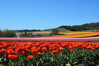 Fields of tulips France_8804