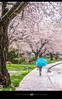 Cherry blossoms in the Vancouver area of BC, Canada (Ann Badjura Photography) Tags: vancouver britishcolumbia bc canada newwestminster cherryblossoms sakura akebono blossom japaneseblossoms street girl umbrella walking rain 604now miss604 24hrvancouver colourfulvancouver vancitybuzz insidevancouver trees path photonewsgallery ctvphotos metronews georgiastraight pnw photography annbadjura spring pacificnorthwest westcoast beautifulbc