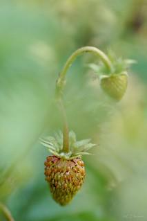 Wald-Erdbeeren (2)