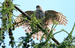Female Sparrowhawk (saundersfay) Tags: sparrowhawk mother chicks bathing drying out trees predator raptor