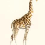 La Giraffe (1837) by Florent Prevos (1794-1870), an illustration of an adorable giraffe. Digitally enhanced from our own original plate. thumbnail