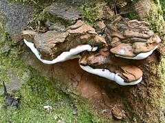 Fungus on Tree at Clandeboye Wood (John D McDonald) Tags: northernireland ni ulster geotagged countydown codown northdown newtownards ards fungus tree