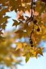 American Sweetgum (l i v e l t r a) Tags: fruit seeds americansweetgum tree color southern f16 nikkor df forest woods
