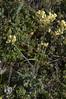 Biscutella sempervirens subsp. vicentina (Fotografía de Naturaleza de Paco Moreno Gámez) Tags: flora fauna fotografía naturaleza flor amarilla verde portugal algarve arribas palos costa cruciferae