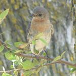 Eastern Bluebird, Timbers Nature Preserve, Murphy, Texas, July 14, 2018 thumbnail