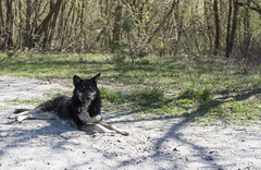 Chernobyl wild dog (Cat Girl 007) Tags: dog chernobyl radiation nuclear exclusionzone ukraine abandoned accident wild pet stray disaster homeless cannine sad pooch pup