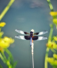 Dragonfly on a stick, like at the fair. (GBPentax) Tags: weeds bug dragonfly