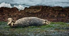 18-04262 (kgsix) Tags: animals lincolncounty location mammals oregon ottercrest seamammals seals usa