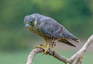 DSC8418  Peregrine Falcon..