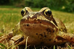 Where's my Prince?..x (Lisa@Lethen) Tags: common frog rana temporaria eyes grass lawn garden nature wildlife