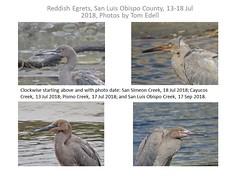 Reddish Egret Composit (tedell) Tags: reddish egret juvenile pismo creek san luis obispo cayucos simeon county california july 2018 bird