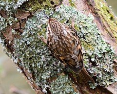 Treecreeper Silverdale RSPB F00296 D210bob DSC_7027 (D210bob) Tags: treecreeper silverdalerspb f00296 d210bob dsc7027 nikond7200 birdphotography birdphotos leightonmoss naturephotography naturephotos nikon nikon200500f56 wildlifephotography lancashire rspb