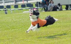 774903 (lottetoppo) Tags: olympus omd em1mark2 em1mkii 40150mm animal dog frisbee