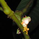 Banana Bank - Calling Tree Frog thumbnail