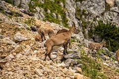 Steinbock Familie (stefangruber82) Tags: alpen alps tyrol tirol steinbock alpineibex ibex