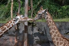 Giraffe Kiss (Scott 97006) Tags: giraffe animal zoo spots kiss cute