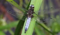 Scarce Chaser 180618 (3) (Richard Collier - Wildlife and Travel Photography) Tags: wildlife naturalhistory nature insects british dragonflies scarcechaser macro closeup