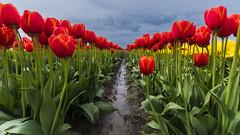 Tulip Festival (ValeTer_) Tags: flower plant flowering tulip field spring petal stem meadow seed nikon d7500 skagit valley festival usa wa washington landscape nature skagitvalleytulipfestival tulipfestival