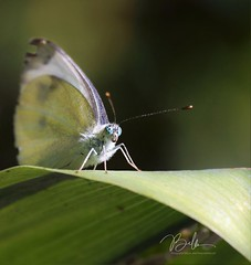 Kohlweissling (babsbaron ( Bella )) Tags: nature tiere animals schmetterlinge butterfly insekten insects wildlife canon eos butterflies