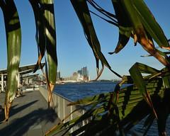 🌴 Port Palm 🌴 (C.Kalk DigitaLPhotoS) Tags: hafen hamburgerhafen portofhamburg port landungsbrücken palmtree palm palme hamburg germany deutschland blue blau grün green sunny schatten shadows outdoor photo photography