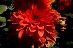 Blumen, Blüten - flowers blossoms,  Dahlien, 76315/10262 (roba66-on vacation) Tags: blumen blüten fleur flori flor flora flores bloem plants pflanzen colores color colour coleur roba66 nature natur naturalezza red rot dahlie dalia blume flower blossom
