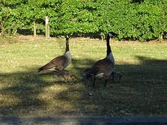 Goose family (stillunusual) Tags: manchester cheadle goose gosling bird nature urbannature wildlife urbanwildlife geese family streetphotography urban urbanscenery 2018