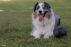 The cool down (Jasper's Human) Tags: aussie australianshepherd dog grass ball soccer football cool shade