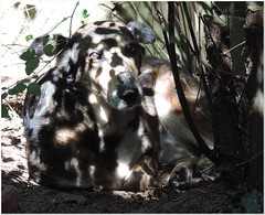 What's worse than a sunburn? (MaxUndFriedel) Tags: garden sun shadow dog fetita spots summer july heat