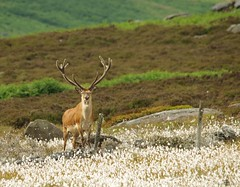 red deer stag peak district in cotton grass 7 july 2018 (6) (Simon Dell Photography) Tags: nature wildlife animal majestic stag red derr peak district fox house longshaw estate derbyshire uk england english countryside simon dell photography 2018 july summer cotton grass meadow moorland moor close up detail