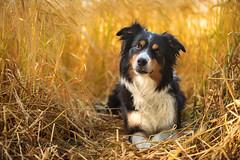 Catja (The Papa'razzi of dogs) Tags: jelling regionofsoutherndenmark denmark dk border collie bordercollie dog golden harvest sun