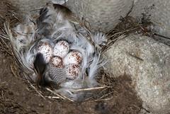 Swallow nest and eggs (billywhiz07) Tags: barn swallow bird uk hirundene nest eggs chicks