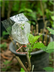 grafting (b. inxee♪♫) Tags: agriculture grafting mulberry