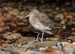 Short-billed dowitcher / Sníputuðra (Limnodromus griseus) (thorrisig) Tags: 30012018 dýr fuglar limnodromusgriseus montreal shortbilleddowitcher sníputuðra vaðfugl thorrisig thorfinnursigurgeirsson thorri þorrisig thorfinnur þorfinnur þorri þorfinnursigurgeirsson sigurgeirsson sigurgeirssonþorfinnur birds bird shorebird wadingbird waterbird dorres