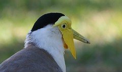 Masked Lapwing (Northern Form) (6) (Richard Collier - Wildlife and Travel Photography) Tags: wildlife naturalhistory nature birds australia maskedlapwing naturethroughthelens
