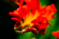 The Jaws of Lucifer (George Plakides) Tags: jaws crocosmialucifer buds