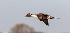 Pintail In Flight (Steve (Hooky) Waddingham) Tags: stevenwaddinghamphotography bird british countryside coast nature duck flight wild wildlife wildfowl photography